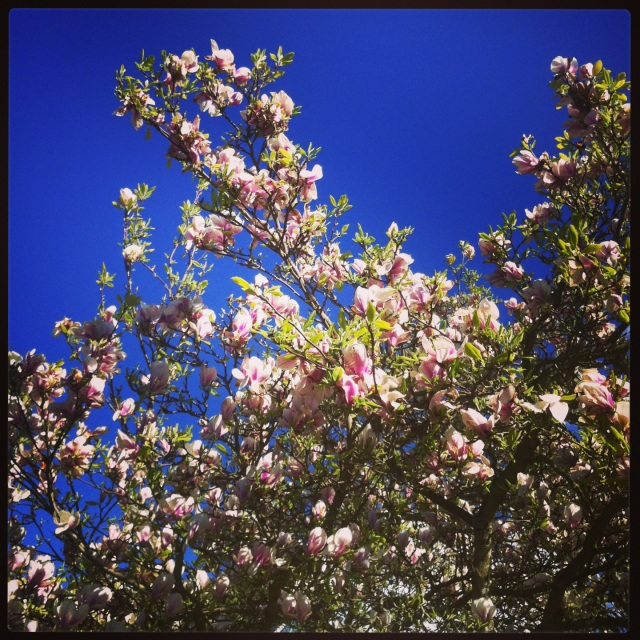 Magnolia liliiflora against a cherished blue sky