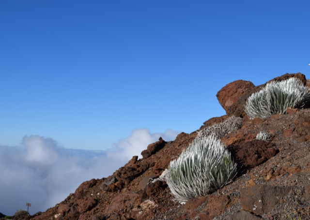 These are 'ahinahina plants - also known as Haleakala silversword. They are found here and no where else on earth.