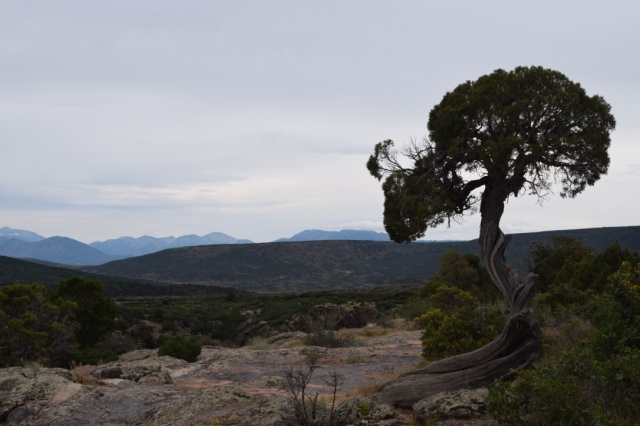 Juniper tree shaped by the wind.